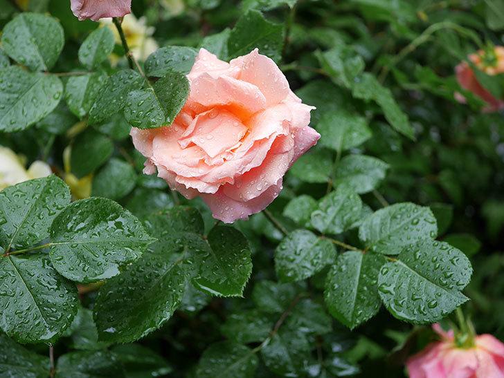 アプリコットキャンディ(木立バラ)の花が雨の中たくさん咲いた。2019年-24.jpg