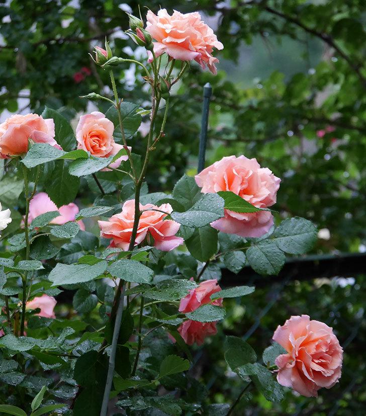 アプリコットキャンディ(木立バラ)の花が雨の中たくさん咲いた。2019年-3.jpg