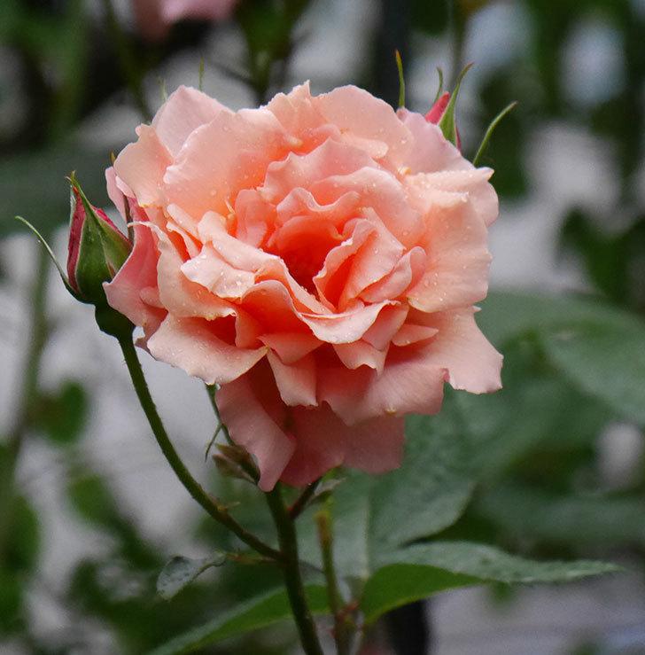アプリコットキャンディ(木立バラ)の花が雨の中たくさん咲いた。2019年-4.jpg