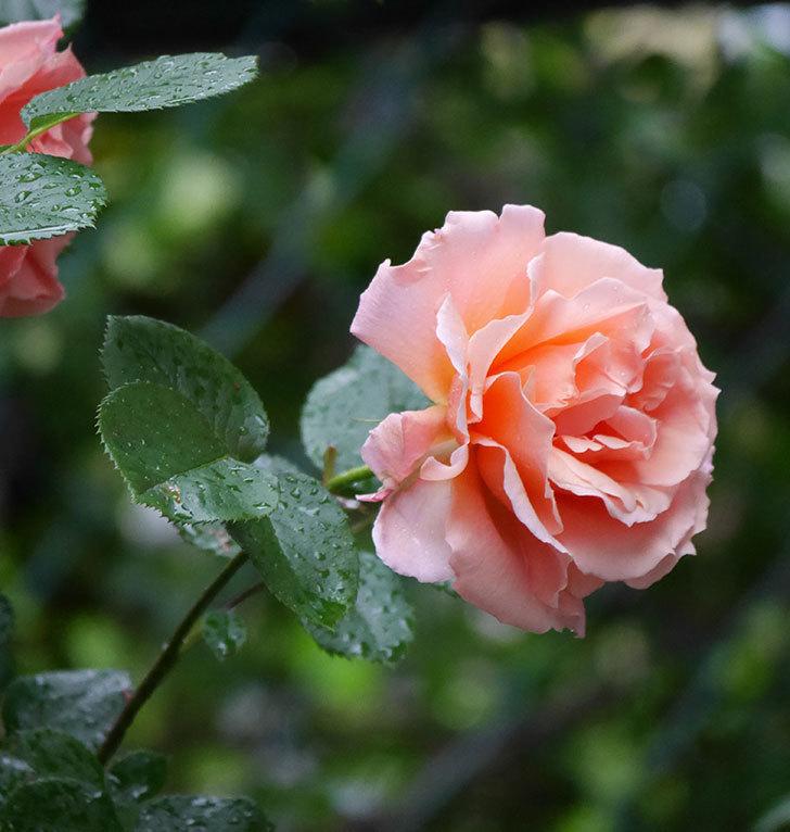 アプリコットキャンディ(木立バラ)の花が雨の中たくさん咲いた。2019年-5.jpg