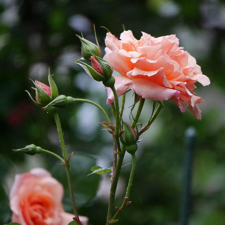 アプリコットキャンディ(木立バラ)の花が雨の中たくさん咲いた。2019年-7.jpg