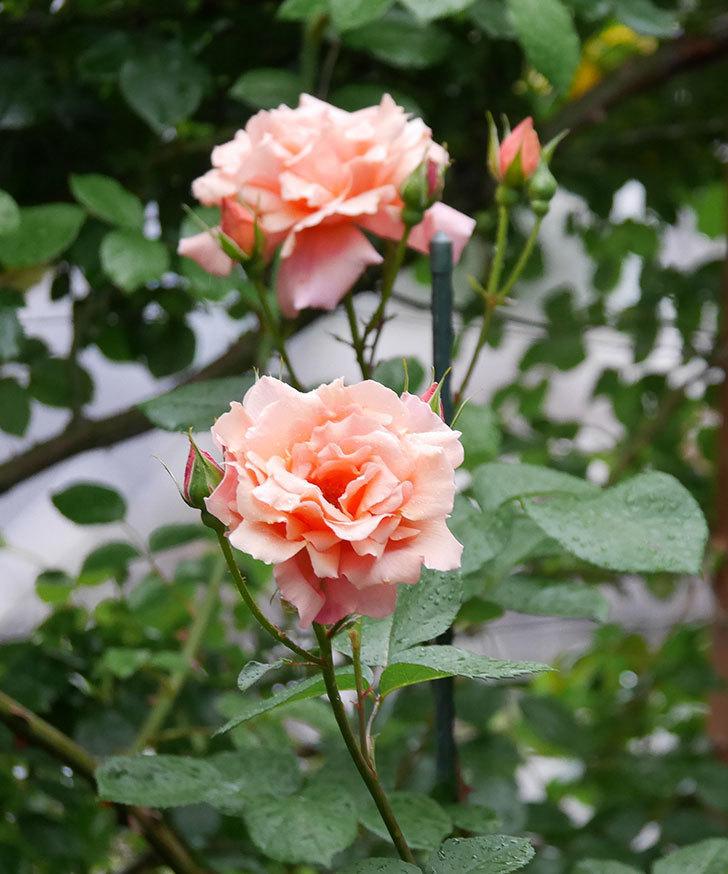 アプリコットキャンディ(木立バラ)の花が雨の中たくさん咲いた。2019年-8.jpg