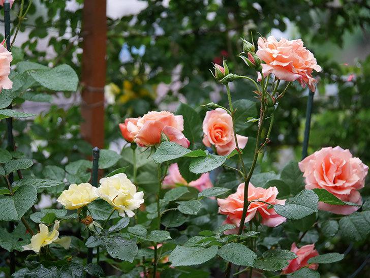 アプリコットキャンディ(木立バラ)の花が雨の中たくさん咲いた。2019年-9.jpg