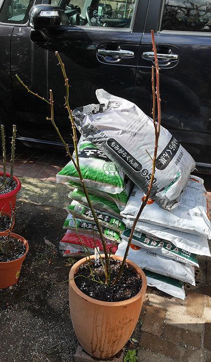 アプリコットキャンディ(木立バラ)の鉢植えを冬剪定をした。2020年-2.jpg