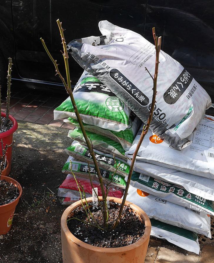 アプリコットキャンディ(木立バラ)の鉢植えを冬剪定をした。2020年-4.jpg