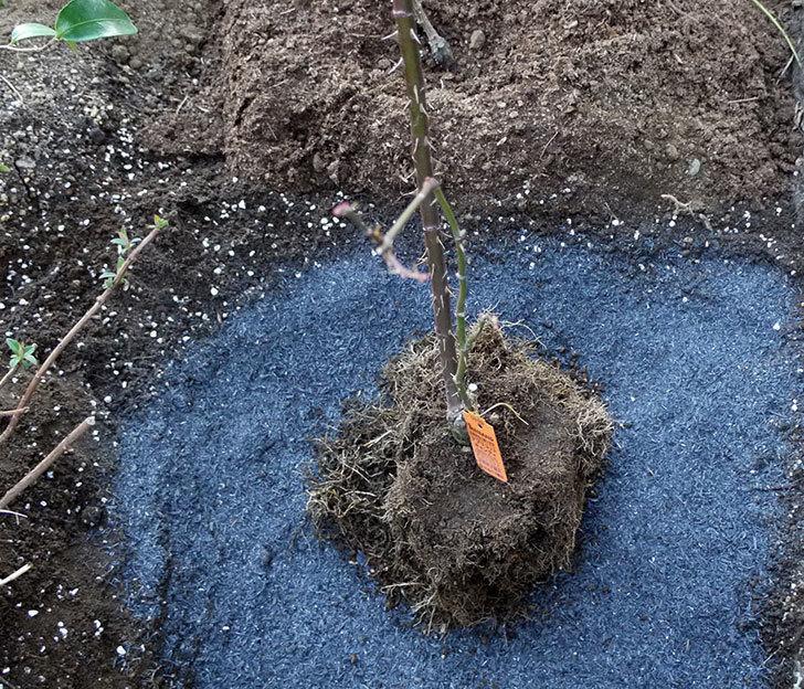 アプリコットキャンディ(木立バラ)の鉢植えを地植えした。2017年-1.jpg