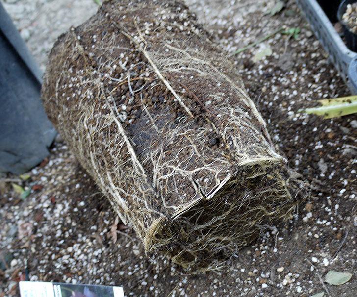 アプリコットキャンディ(木立バラ)の鉢植えを地植えした。2017年-12.jpg