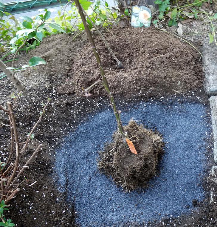 アプリコットキャンディ(木立バラ)の鉢植えを地植えした。2017年-15.jpg