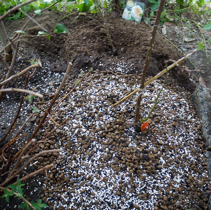 アプリコットキャンディ(木立バラ)の鉢植えを地植えした。2017年-16.jpg