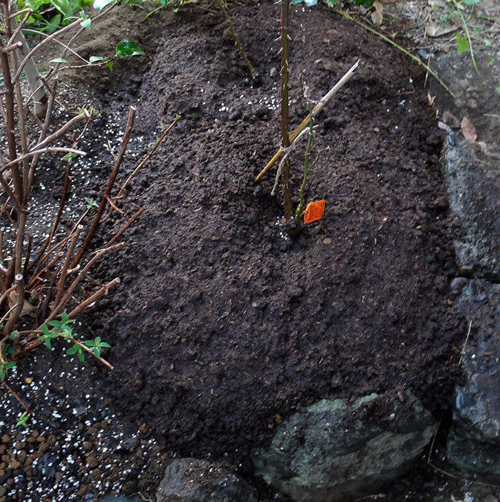 アプリコットキャンディ(木立バラ)の鉢植えを地植えした。2017年-18.jpg