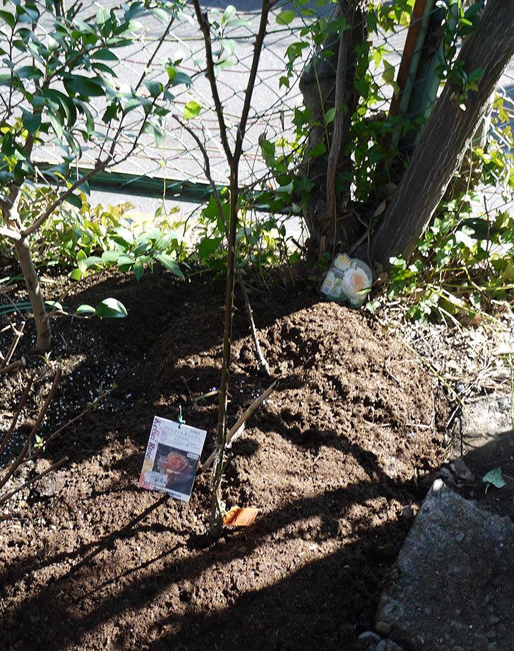 アプリコットキャンディ(木立バラ)の鉢植えを地植えした。2017年-19.jpg