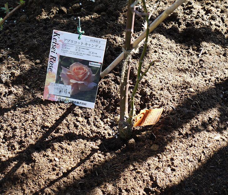アプリコットキャンディ(木立バラ)の鉢植えを地植えした。2017年-20.jpg