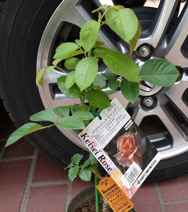 アプリコットキャンディ(バラ)の新苗をケイヨーデイツーで買って来た。2016年-1.jpg