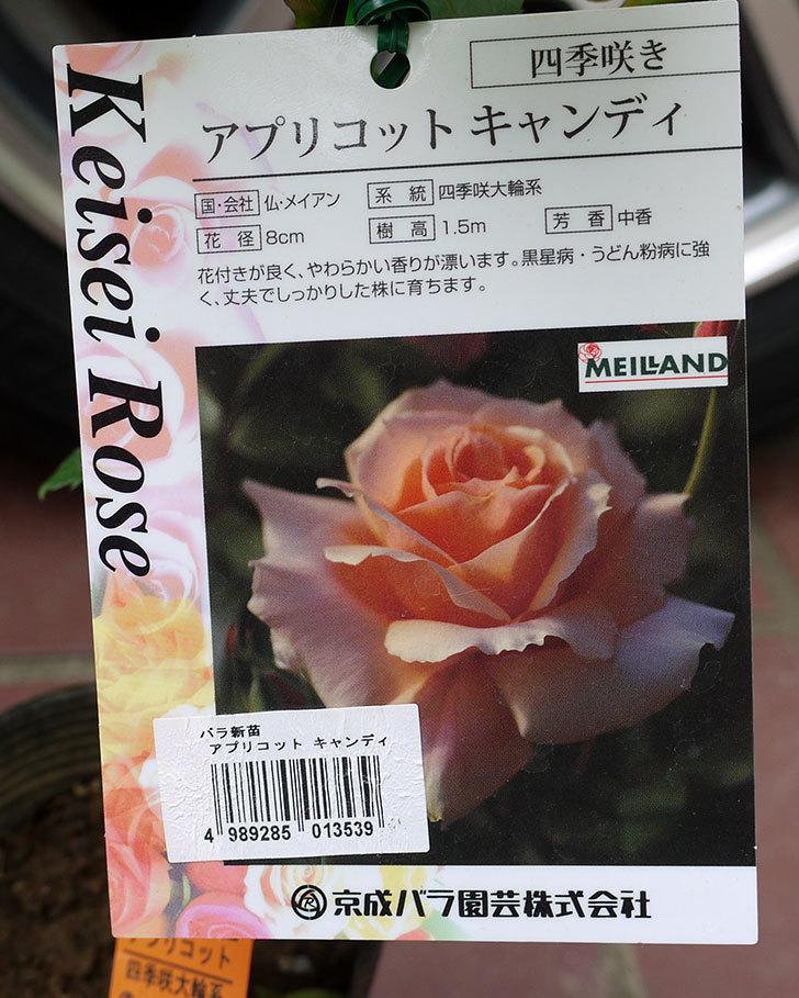 アプリコットキャンディ(バラ)の新苗をケイヨーデイツーで買って来た。2016年-4.jpg