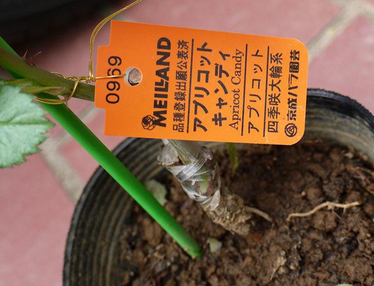 アプリコットキャンディ(バラ)の新苗をケイヨーデイツーで買って来た。2016年-5.jpg
