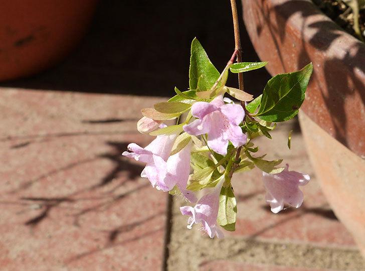 アベリア-エドワードゴーチャの花が咲いた。2015年-2.jpg