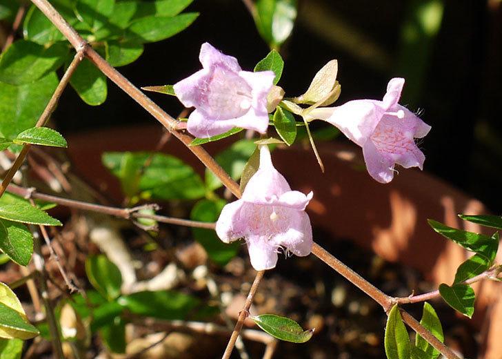 アベリア-エドワードゴーチャの花が咲いた。2015年-4.jpg