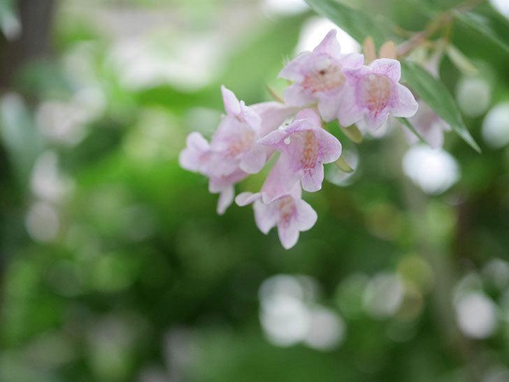 アベリア エドワードゴーチャの花が咲いた。2020年-002.jpg
