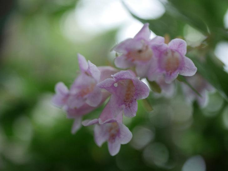 アベリア エドワードゴーチャの花が咲いた。2020年-003.jpg