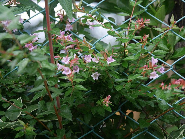 アベリア エドワードゴーチャの花が咲いた。2020年-004.jpg
