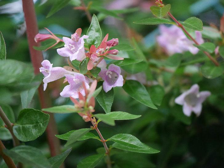 アベリア エドワードゴーチャの花が咲いた。2020年-005.jpg