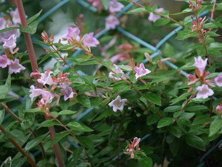 アベリア エドワードゴーチャの花が咲いた。2020年-006.jpg