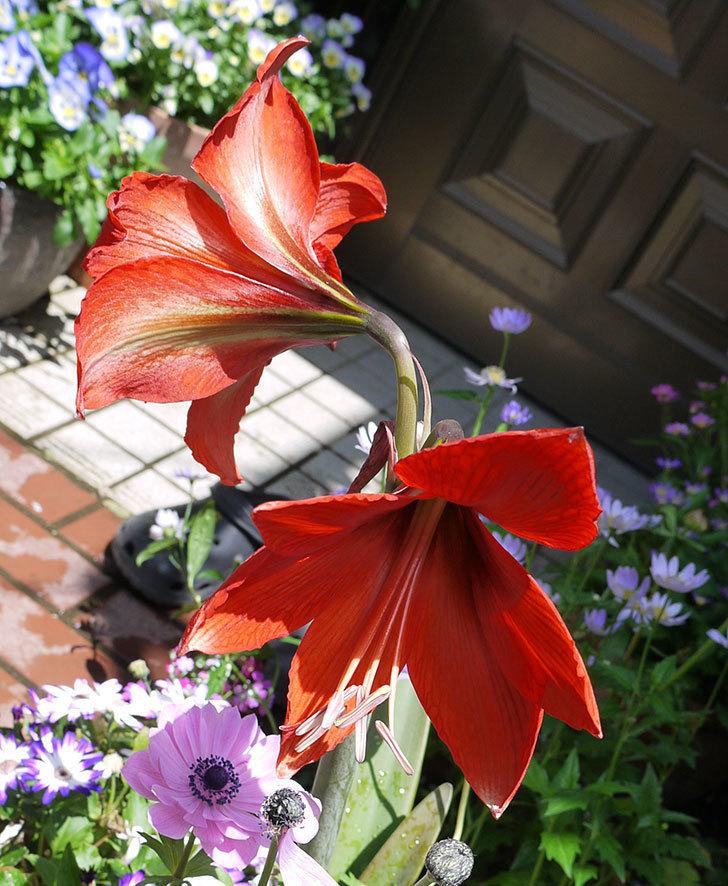 アマリリスに2個目の花が咲いた。2017年-1.jpg