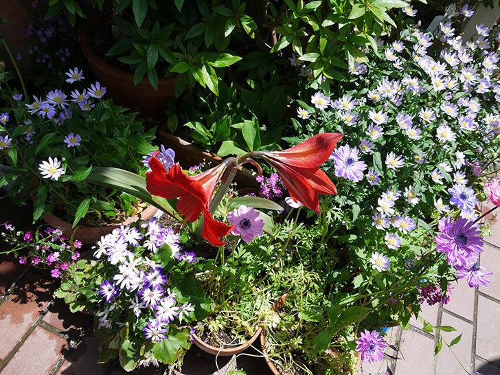アマリリスに2個目の花が咲いた。2017年-5.jpg