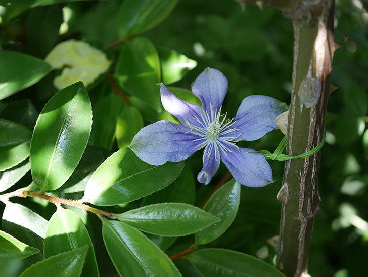 アラベラ(インテグリフォリア系、新枝咲き)の花が咲いた。2019年-3.jpg