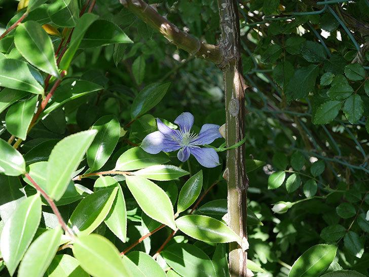 アラベラ(インテグリフォリア系、新枝咲き)の花が咲いた。2019年-4.jpg