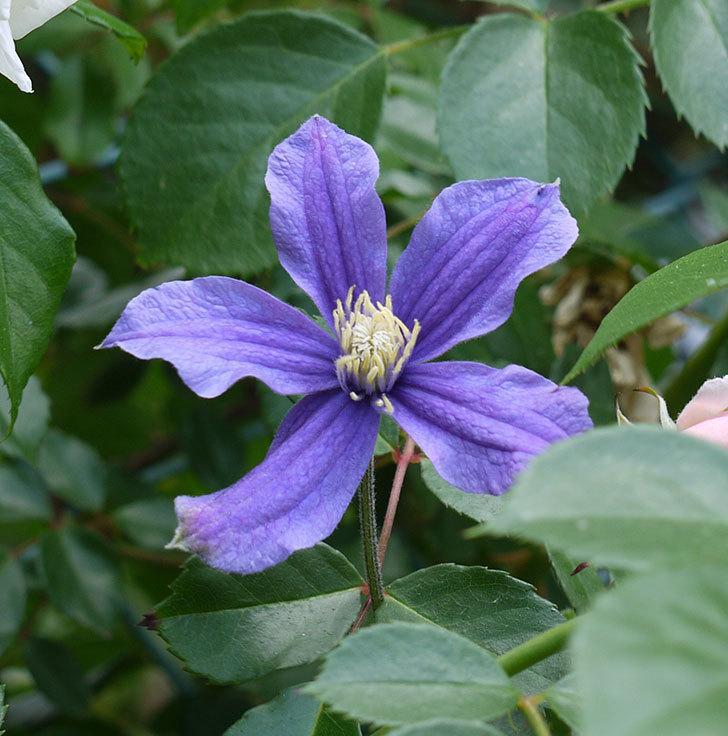 アラベラ(インテグリフォリア系、新枝咲き)の花が増えてきた。2017年-10.jpg