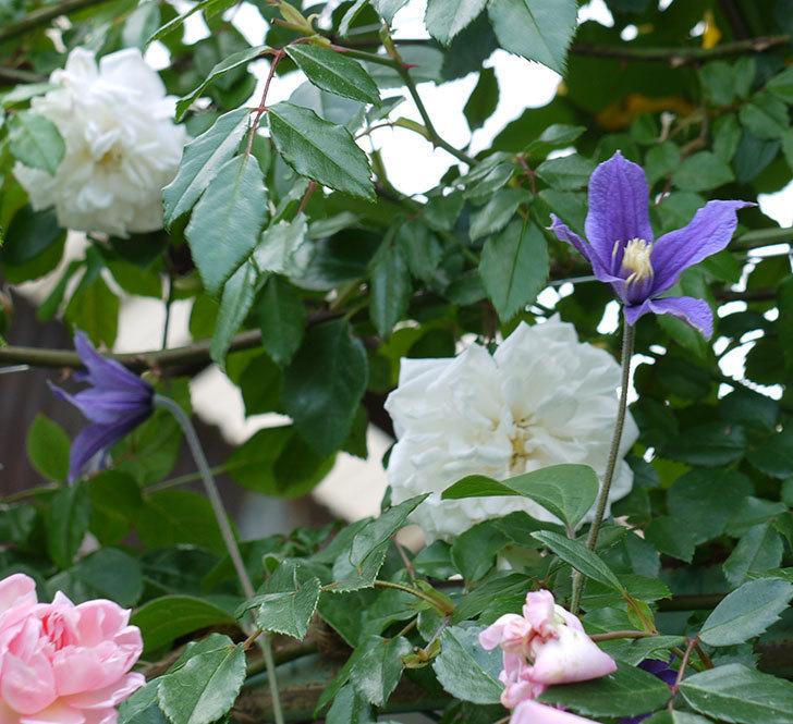 アラベラ(インテグリフォリア系、新枝咲き)の花が増えてきた。2017年-11.jpg