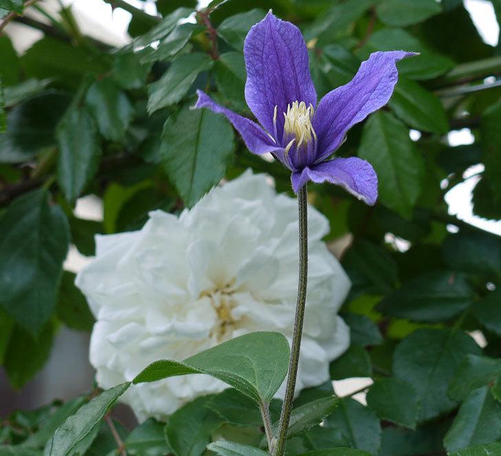 アラベラ(インテグリフォリア系、新枝咲き)の花が増えてきた。2017年-12.jpg