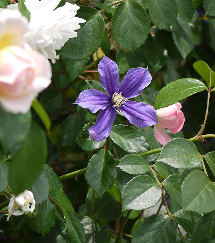 アラベラ(インテグリフォリア系、新枝咲き)の花が増えてきた。2017年-4.jpg