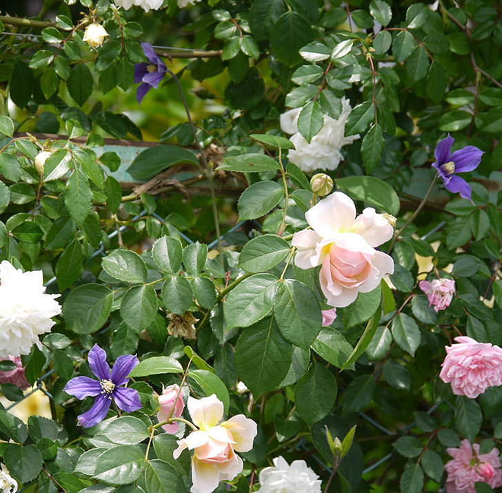 アラベラ(インテグリフォリア系、新枝咲き)の花が増えてきた。2017年-5.jpg