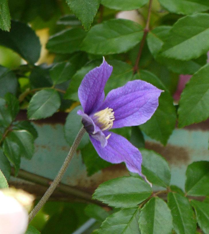 アラベラ(インテグリフォリア系、新枝咲き)の花が増えてきた。2017年-6.jpg