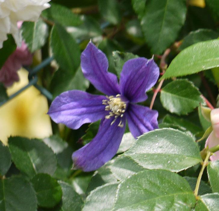 アラベラ(インテグリフォリア系、新枝咲き)の花が増えてきた。2017年-7.jpg