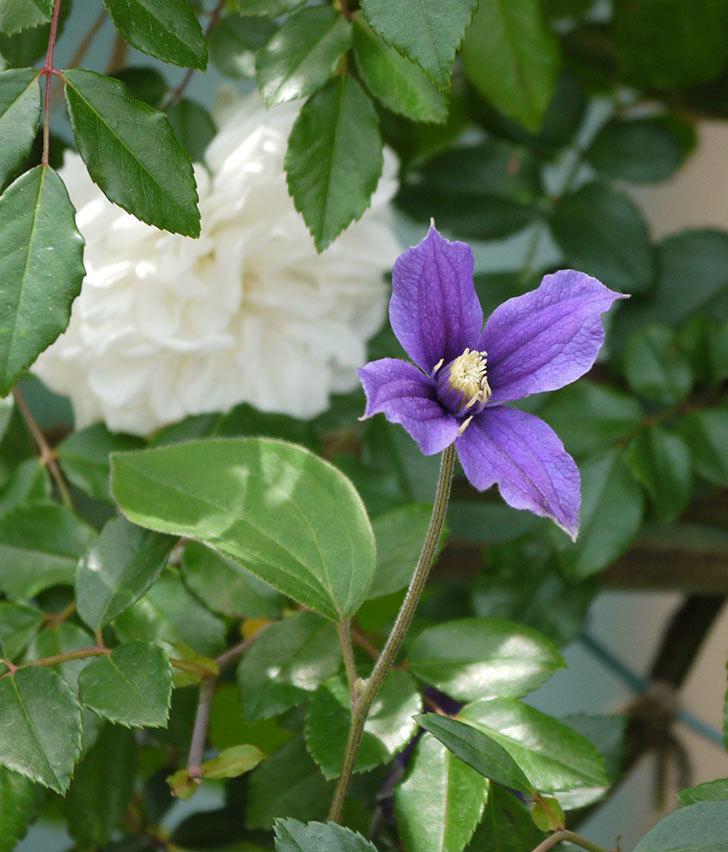 アラベラ(インテグリフォリア系、新枝咲き)の花が増えてきた。2017年-9.jpg