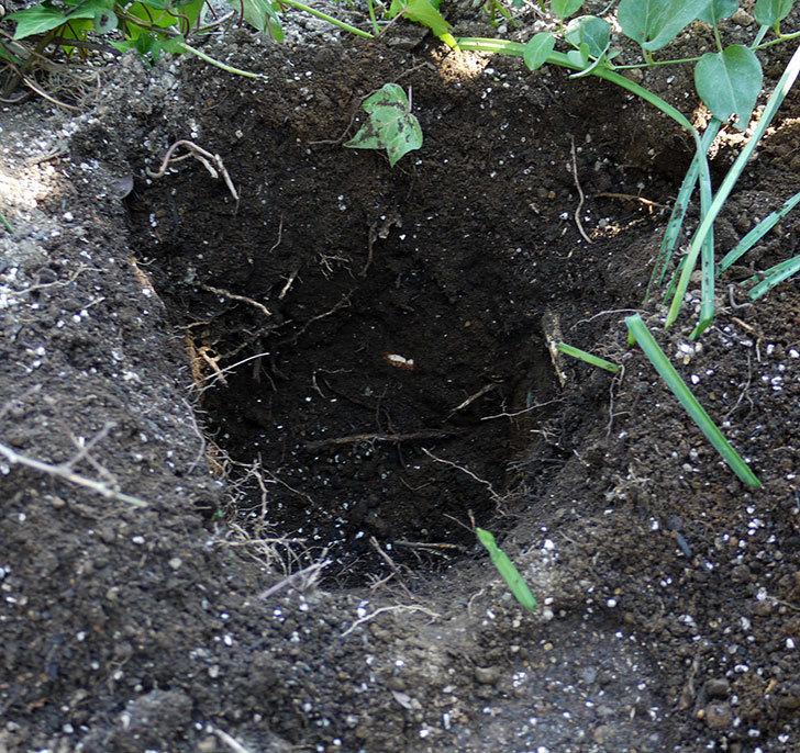 アラベラ(クレマチス)を地植えした。2017年-3.jpg