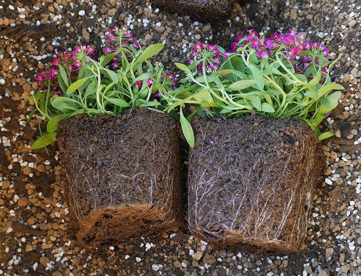 アリッサムとガーデンシクラメンを寄せ植えにした。2019年-8.jpg