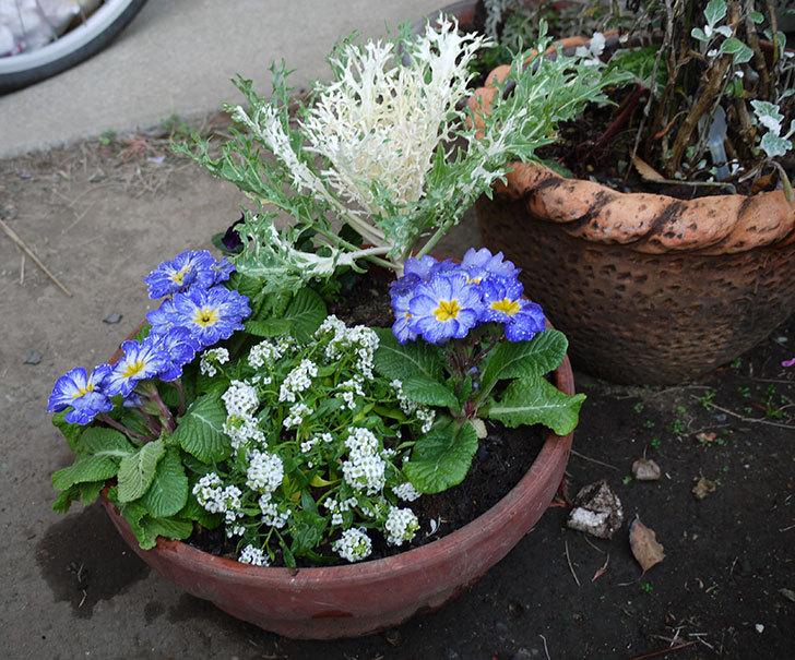 アリッサムとプリムラポリアンサ-センセーションと葉牡丹を鉢に植え替えた1.jpg