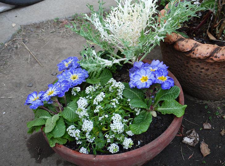 アリッサムとプリムラポリアンサ-センセーションと葉牡丹を鉢に植え替えた2.jpg