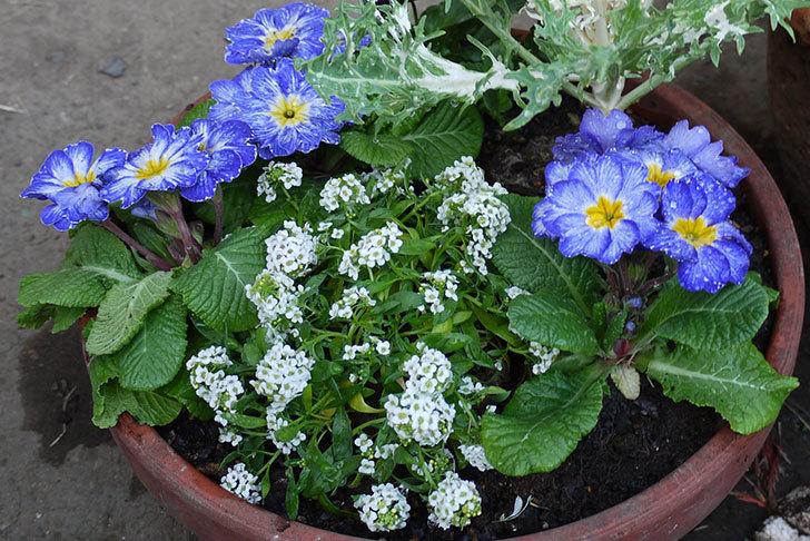 アリッサムとプリムラポリアンサ-センセーションと葉牡丹を鉢に植え替えた3.jpg