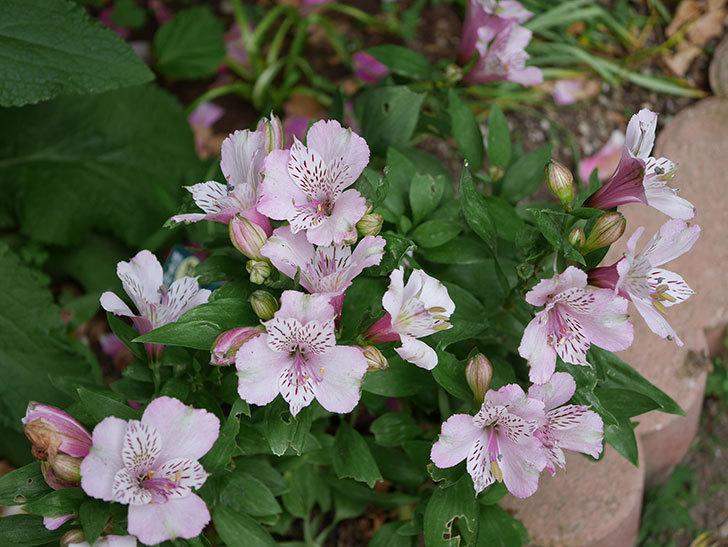 アルストロメリア-サクラの花が咲いた。2019年-1.jpg