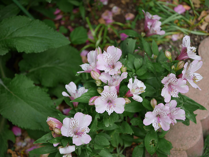 アルストロメリア-サクラの花が咲いた。2019年-3.jpg
