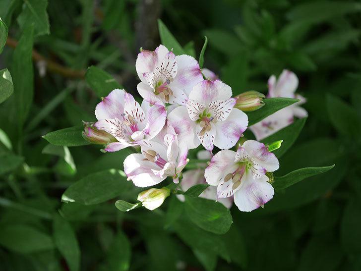 アルストロメリア サクラの花が咲いた。2021年-001.jpg