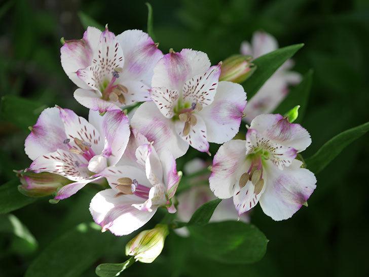アルストロメリア サクラの花が咲いた。2021年-006.jpg