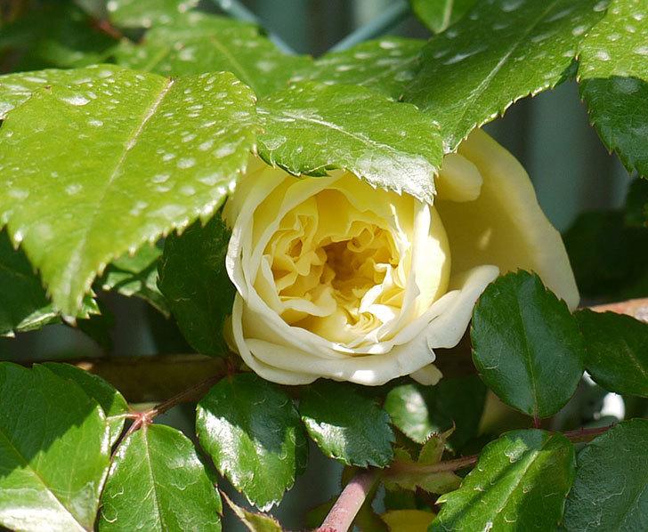 アルベリックバルビエ(ツルバラ)の花が1個咲いた。2016年-2.jpg