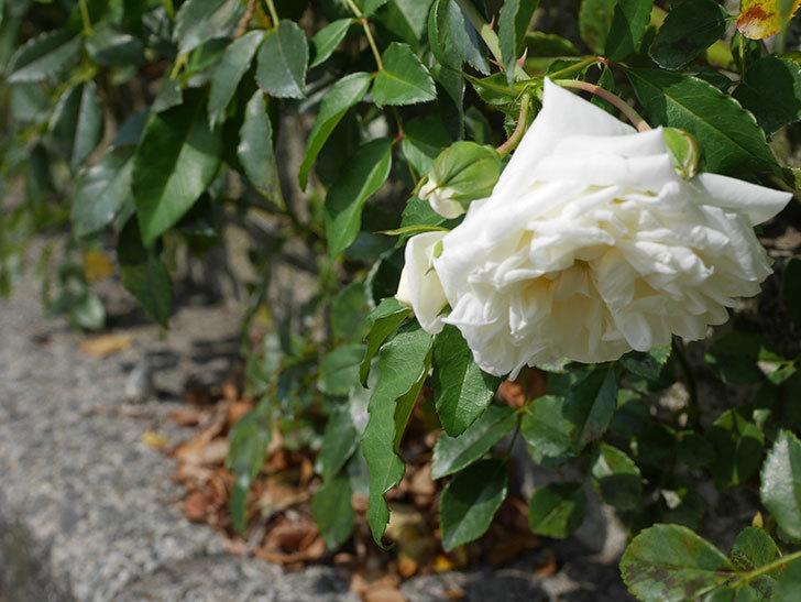 アルベリック・バルビエ(Alberic Barbier)の夏花が咲いていた。ツルバラ。2020年-001.jpg