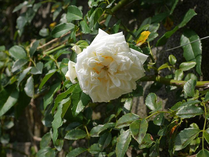 アルベリック・バルビエ(Alberic Barbier)の夏花が咲いていた。ツルバラ。2020年-002.jpg